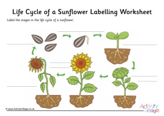Sunflower Life Cycle Labelling Worksheet  Guided