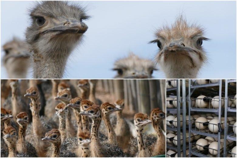 Ostrich Farm tour
