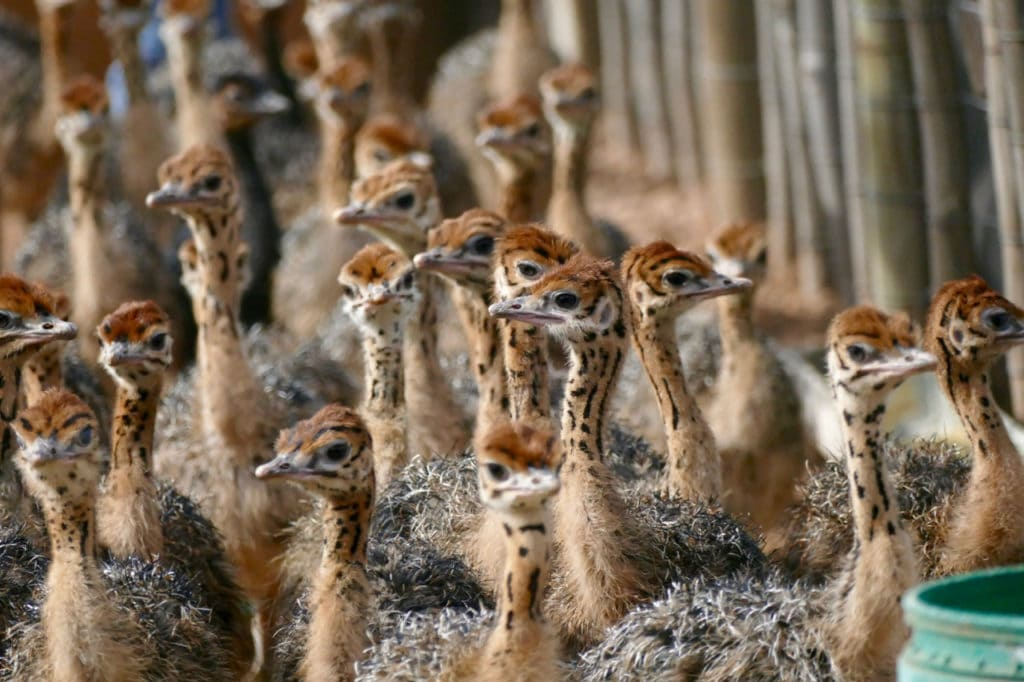 Young ostriches