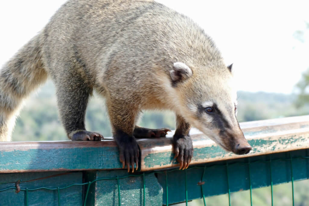 Coati at Iguazu
