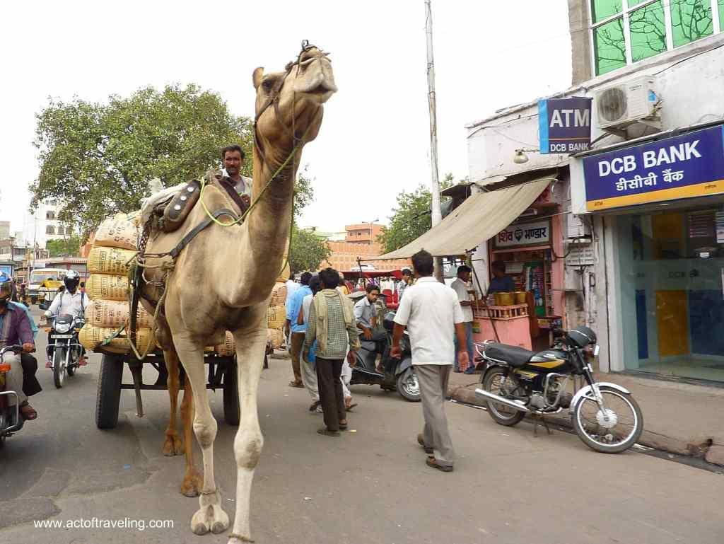 Camel on street