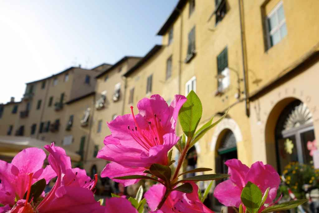 Flower with houses in Lucca in the back