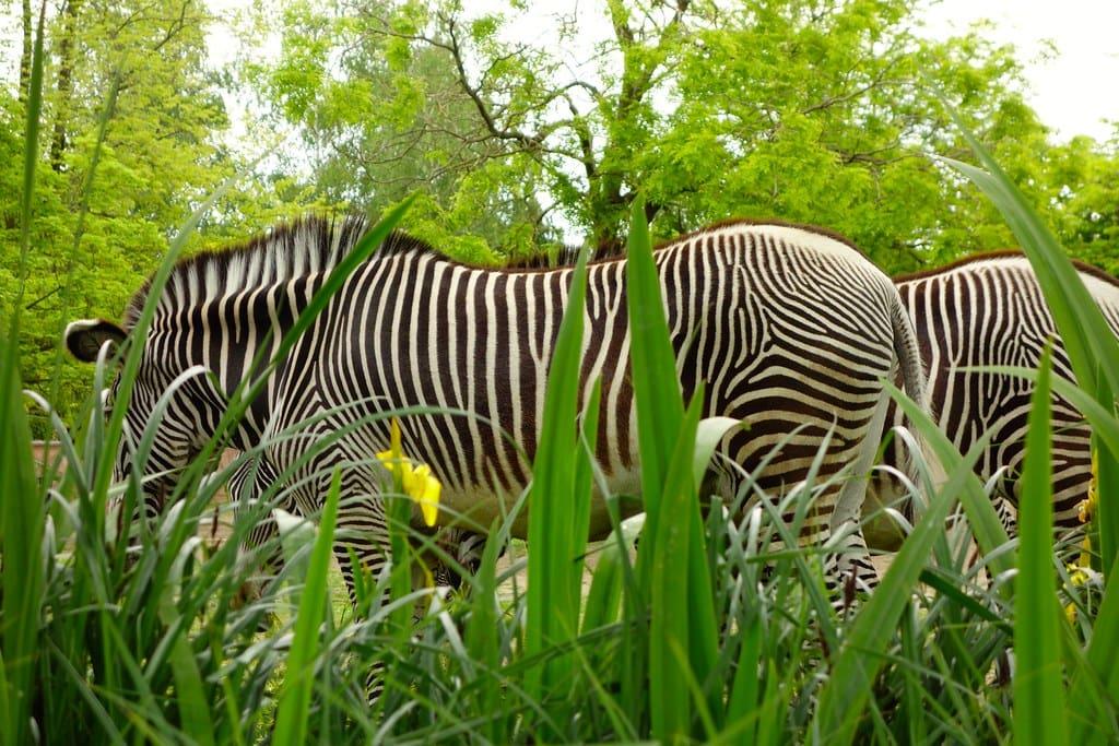 Zebra at Planckendael Zoo