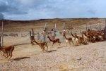 vicuñas_serfor