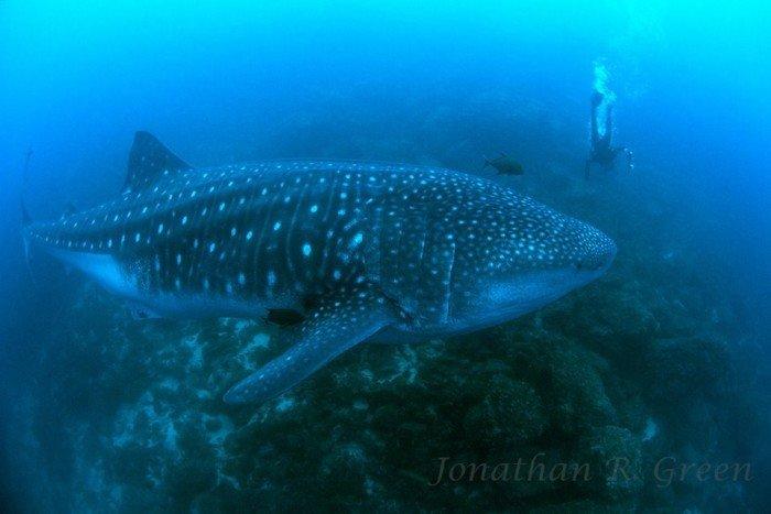 Tiburón ballena - Whale Shark Project