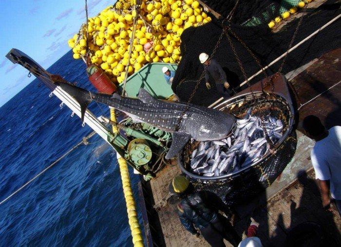 tiburón ballena . Whale Shark Project