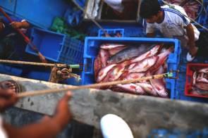 La doncella es uno de los peces que más se consigue en los mercados del norte. Apenas llegan al muelle, algunas jabas son enviadas a las bodegas de congelamiento para su reparto.