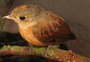 En los bosques de Yaguas podemos encontrar un 32% del total de mamíferos del país y a 393 de las 500 especies de aves que se estima viven en la región Loreto. Foto: Álvaro del Campo – Field Museum