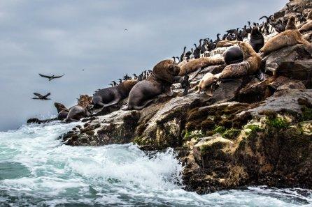 Las Islas frente a Ancón son también el hogar de una gran cantidad de lobos marinos y de aves guaneras.