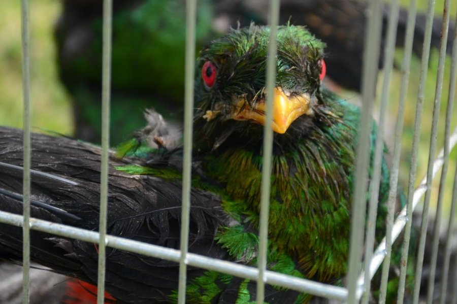 trafico_aves_serfor_actualidad_ambiental_9