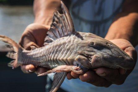 9. Carachama. La pesca por la zona es buena y a pesar que no hay minería en esta parte del río, los peces igual están contaminados con mercurio, lo que a su vez contamina a los pobladores que los consumen.