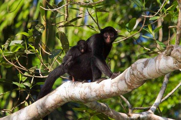 El Parque Nacional del Manu es el área natural protegida más biodiversa del planeta, según estudios científicos que lo han comprobado. Foto: Ken Bohn / San Diego Zoo Global