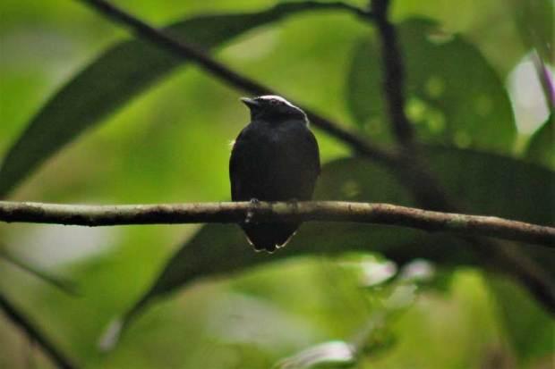 Dixiphia pipra. Foto: Diego Macedo