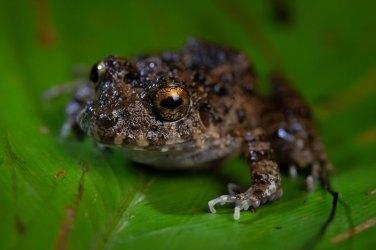 Las poblaciones de anfibios abundan en esta área, se han registrado 92 especies. Foto: SPDA/Spectabilis