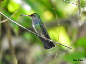 Amazilia-lactea-aves-jorge-galvan