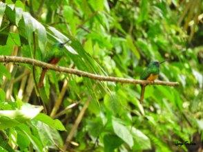 Galbula-cyanescens-jorge-galvan-2018--
