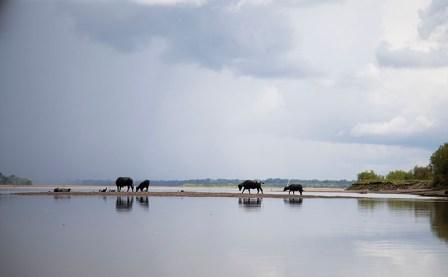 Búfalos cruzando el río en temporada baja.