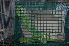 SERFOR_tráfico de reptiles_MG_3902_2