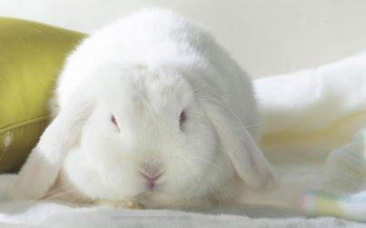 Enfermedades del conejo