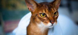Gato abisinio: una de las razas más antiguas