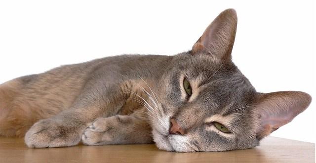 Consejos para curar heridas de tu gato