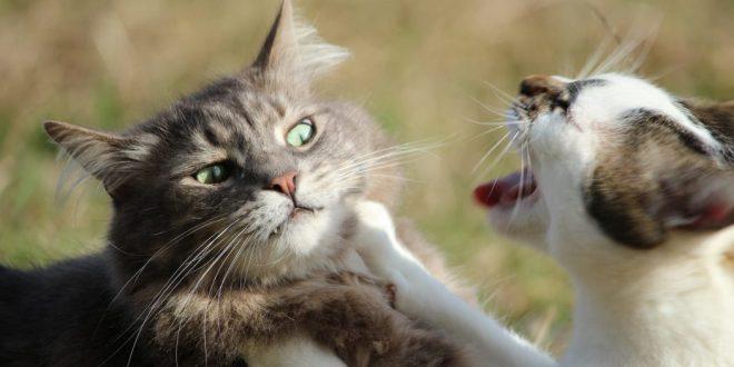 Trucos para solucionar una pelea entre gatos