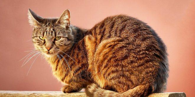 diabetes-en-gatos