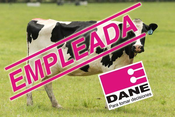 Clarita, la vaca lechera contará como empleada para el DANE ya que realiza una labor y cumple un horario.