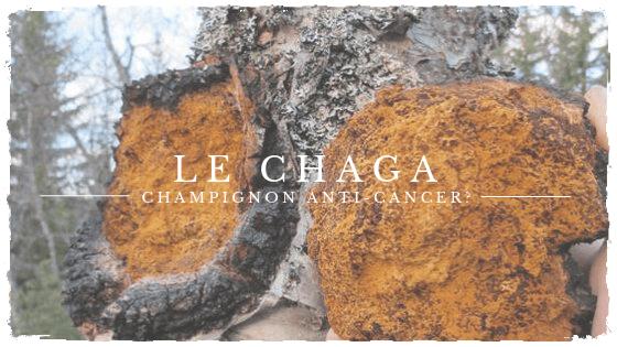 Le chaga: un champignon aux propriétés prometteuses