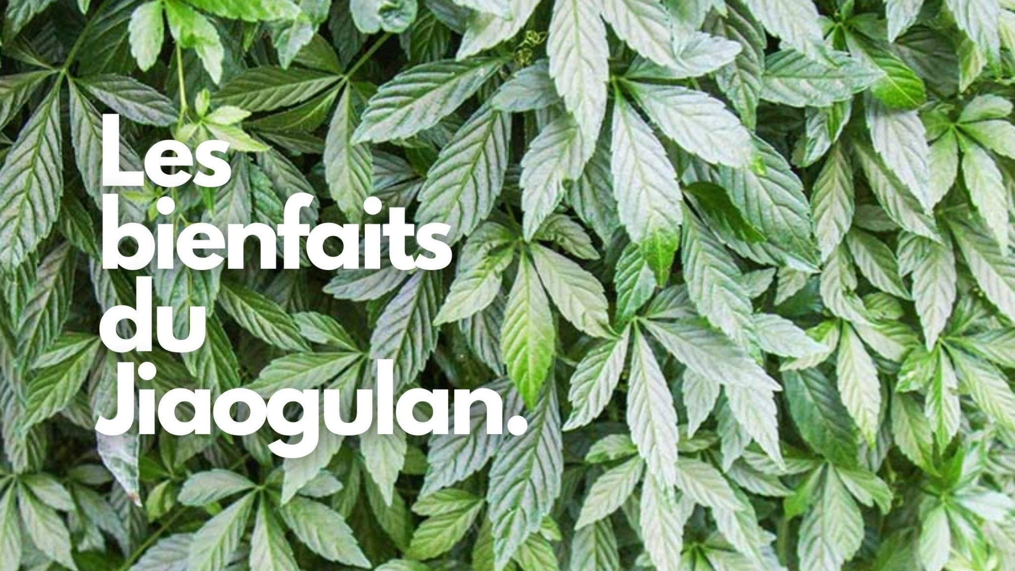 L'herbe de l'immortalité : le Jiaogulan nous délivre ses secrets