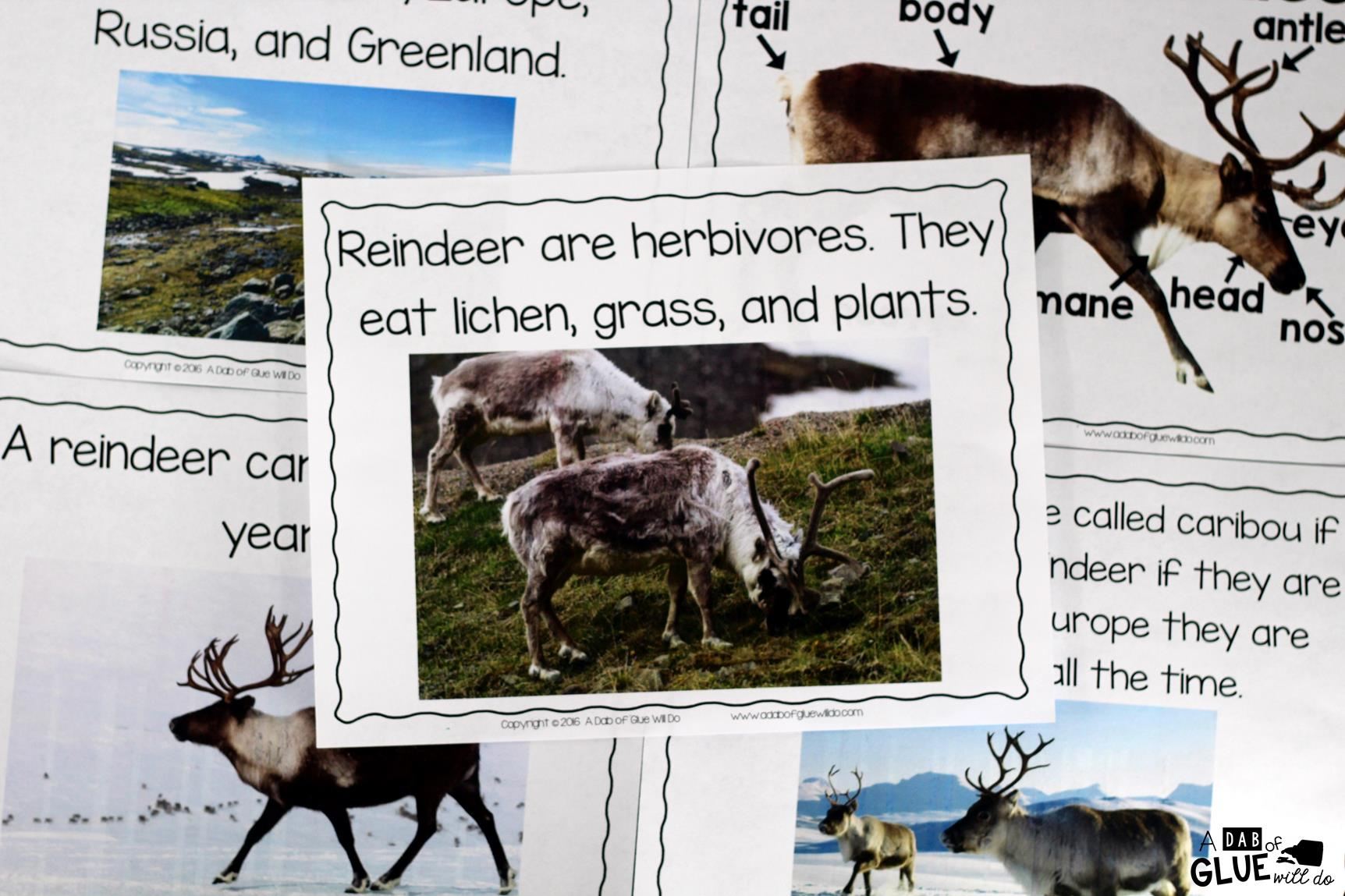 Reindeer Facts An Animal Study