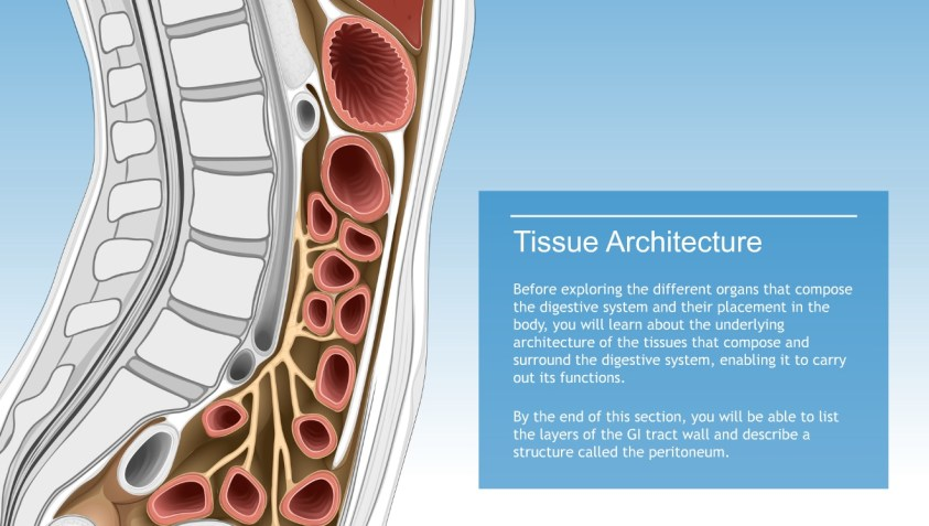 Understanding the Anatomy of the Digestive System-A.D.A.M ...