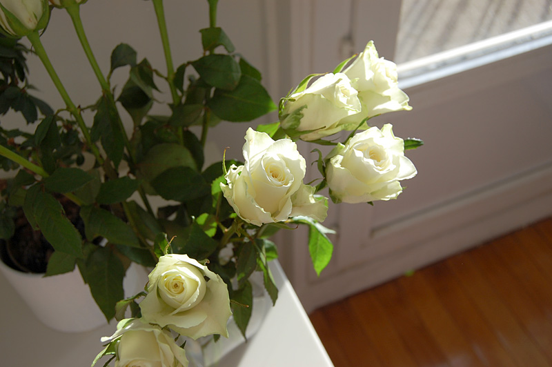 rosesblanches