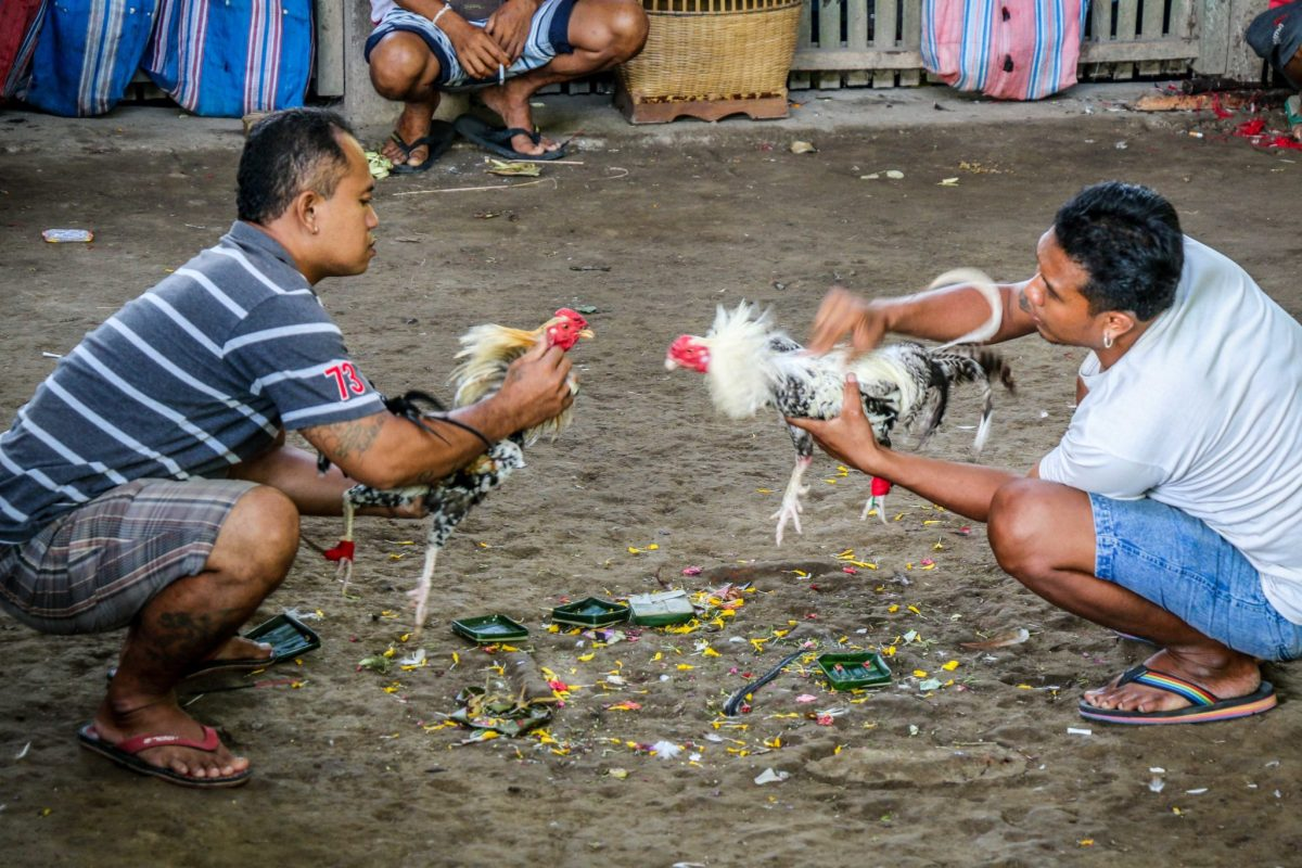 Bali_atrakcje_walki_kogutow