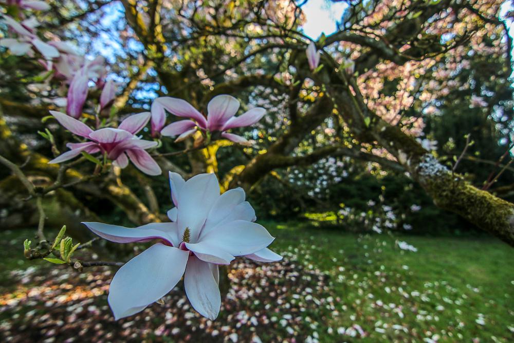 kornik_magnolie