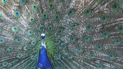 A peacock symbolizing the pride parents feel in their children with ADHD