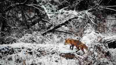 A fox hunting in a snowy field