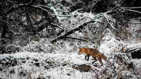 A fox hunting in a snowy field