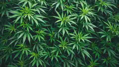 marijuana wallpaper, texture abstraction, many leaves of marijuana a hybrid of sativa and indica in greenhouse plantation