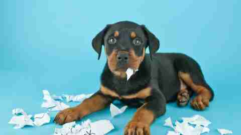 Funny Rottweiler puppy that looks like he is eating an ADHD child's homework on a blue background with copy space.