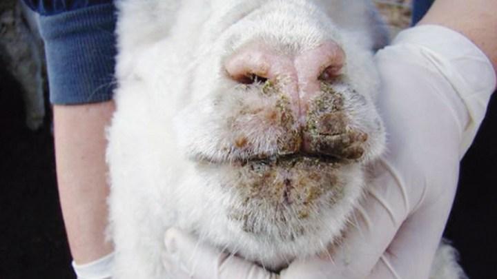Describen por primera vez el virus Orf del ganado en Argentina 1