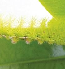 PANAMÁ. Misterio en el manglar: mangles rojos secados por una rara oruga 2