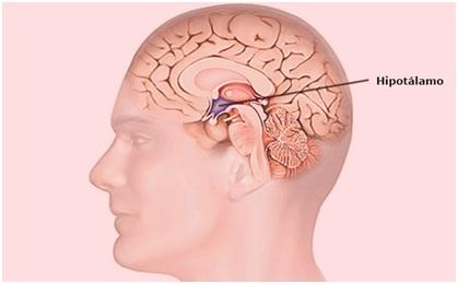 Situación del hipotálamo en el cerebro humano