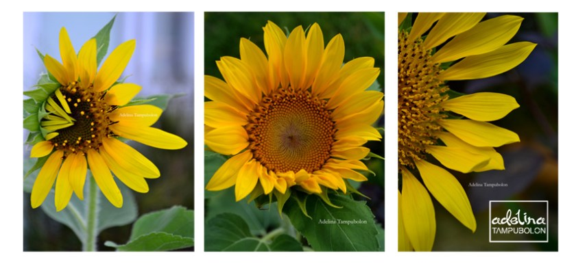 weekly photo challenge sun flower