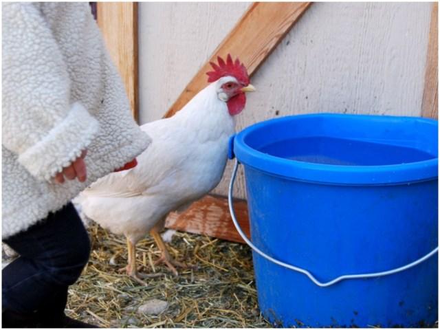 A Denver Home Companion | chickens in the city