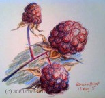 Blackberries in coloured pencil