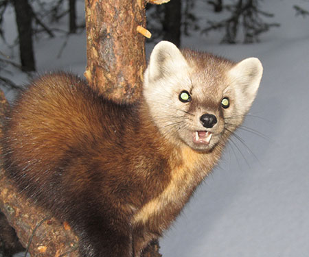 Marten Trapping In Southeast Alaska Alaska Department Of Fish And Game