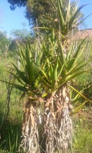 copac in Madagascar