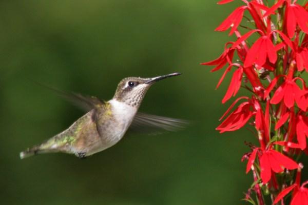 female ruby-throated hummingbird and cardinal flower ...