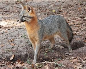 Grey-Fox-Website_49